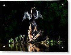 Anhinga Anhinga Anhinga, Pantanal Acrylic Print by Panoramic Images
