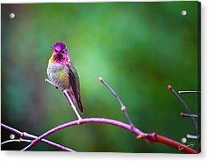 Anna Hummingbird Vii Acrylic Print