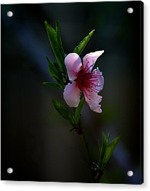 Apple Blossom Acrylic Print by Martin Morehead