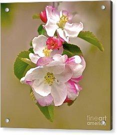 Apple Blossom Acrylic Print