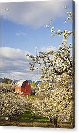 Apple Blossom Trees And A Red Barn In Acrylic Print by Craig Tuttle