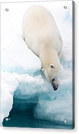 Arctic Composition Acrylic Print by Marco Gaiotti