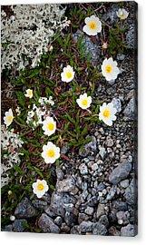 Arctic Flowers Acrylic Print by Konstantin Dikovsky