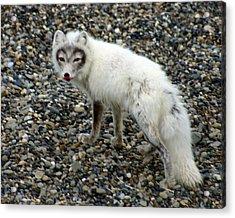 Arctic Fox Acrylic Print by Anthony Jones