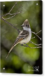 Ash-throated Flycatcher Acrylic Print by Anthony Mercieca