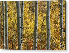 Acrylic Print featuring the photograph Aspen In Autumn At Mcclure Pass by Jetson Nguyen