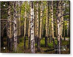 Aspen Trees Canadian Rockies Acrylic Print