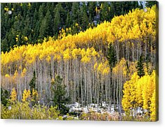 Aspen Trees In Fall Color Acrylic Print