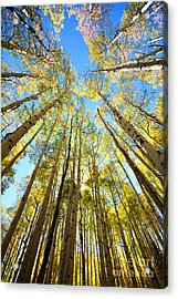 Acrylic Print featuring the photograph Aspens In The Fall by Kate Avery