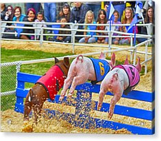 Acrylic Print featuring the photograph At The Pig Races by AJ Schibig