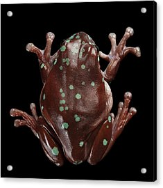 Australian Green Tree Frog, Or Litoria Caerulea Isolated Black Background Acrylic Print