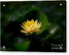 Yellow Lotus Acrylic Print