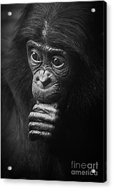 Acrylic Print featuring the photograph Baby Bonobo Portrait by Helga Koehrer-Wagner