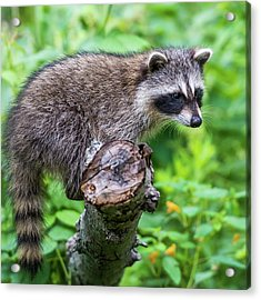 Acrylic Print featuring the photograph Baby Racoon by Paul Freidlund