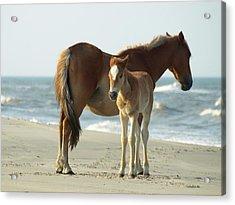 Banker Horses - 4 Acrylic Print