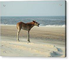Banker Horses - 8 Acrylic Print