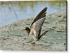 Barn Swallow Acrylic Print by Anthony Mercieca