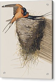 Barn Swallow Acrylic Print by John James Audubon