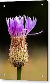 Basket-flower Opening Acrylic Print