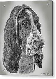 Bassett Hound Acrylic Print