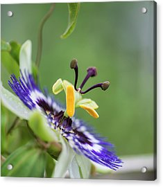 Beautiful Close Up Image Of Passion Flower On The Vine Acrylic Print