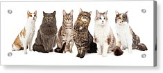 Beautiful Grey Domestic Shorthair Cat Laying Acrylic Print