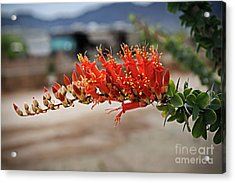 Acrylic Print featuring the photograph Beautiful Ocotillo by Robert Bales