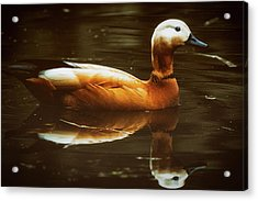 Acrylic Print featuring the photograph Beautiful Rust Goose by The 3 Cats