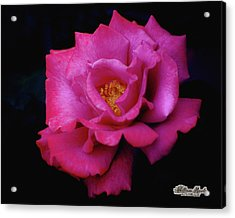 Acrylic Print featuring the photograph Beauty In A Rose by William Havle