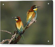 Bee-eater Acrylic Print by Perry Van Munster