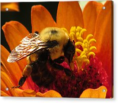 Bee With Zinnia Acrylic Print