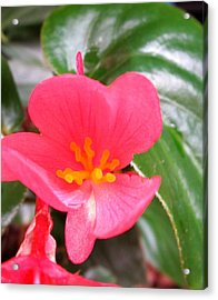 Begonia Acrylic Print by Miss McLean