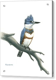 Belted Kingfisher Perched Acrylic Print