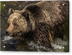 Beryl Springs Sow In The River Acrylic Print