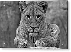 Big Cat Lion Collection Acrylic Print by Marvin Blaine