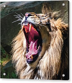Big Yawn Acrylic Print