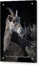 Bighorn Ewe Acrylic Print