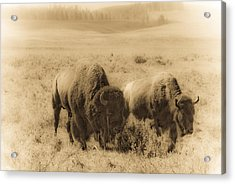 Bison Pair Acrylic Print by Patrick  Flynn