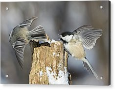 Acrylic Print featuring the photograph Black-capped Chickadee In Winter by Mircea Costina Photography