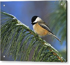 Black-capped Chickadee Acrylic Print