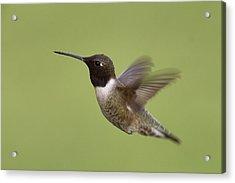 Black-chinned Hummingbird Acrylic Print by Doug Herr