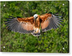 Black-collared Hawk Busarellus Acrylic Print by Panoramic Images