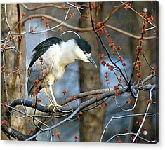 Black-crowned Night Heron Acrylic Print by Neil Doren