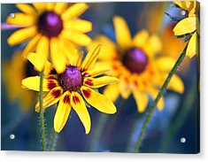 Black Eyed Susan's Acrylic Print by Evelyn Patrick
