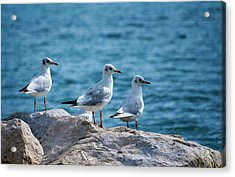 Black-headed Gulls, Chroicocephalus Ridibundus Acrylic Print by Elenarts - Elena Duvernay photo