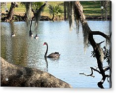 Acrylic Print featuring the photograph Black Swan by Elizabeth Fontaine-Barr