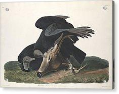 Black Vulture Acrylic Print by Rob Dreyer