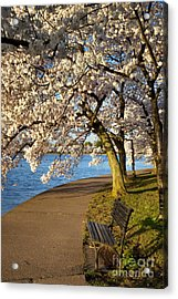 Blossoming Cherry Trees Acrylic Print by Brian Jannsen