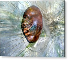 Blowing Dandelions Acrylic Print by Irma BACKELANT GALLERIES