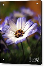 Blue Bi-color Pericallis Senetti  Acrylic Print by Dorothy Lee